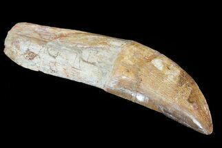 "Buy 7.2"" Rooted Carcharodontosaurus Tooth  - #71086"