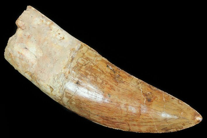 "5.1"" Carcharodontosaurus Tooth - Partially Rooted"
