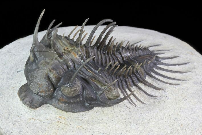 "2.4"" Spiny Comura Trilobite - Excellent Preparation"