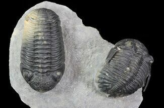 Hollardops & Barrandeops - Fossils For Sale - #71196