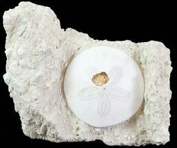 "Buy Bargain, 2.4"" Fossil Sand Dollar (Scutella) - France - #70039"