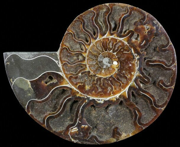 "6.8"" Cut Ammonite Fossil (Half) - Agatized"