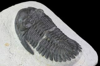 Hollardops merocristata - Fossils For Sale - #71616