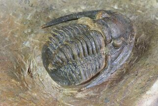 "1.1"" Sculptoproetus Trilobite - Rare Proetid For Sale, #71684"