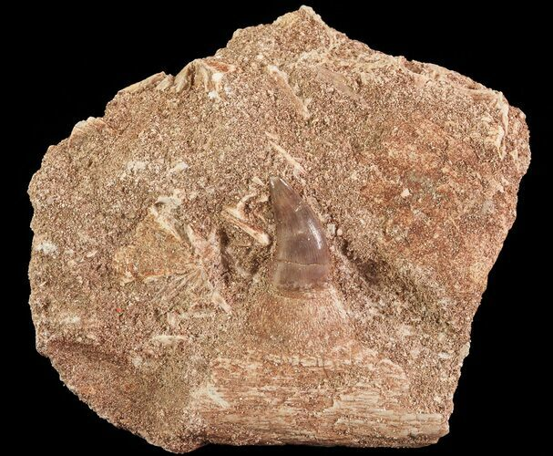 "1.4"" Mosasaur (Halisaurus) Jaw Section with Tooth - Morocco"