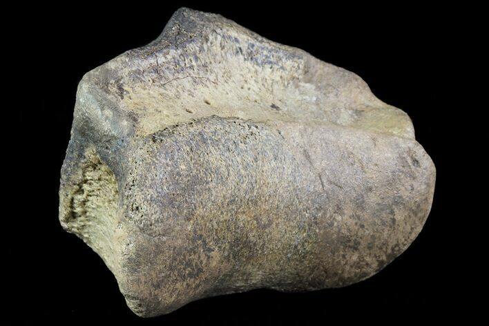 "2.7"" Ceratopsian Dinosaur Toe Bone - Alberta (Disposition #000028-29)"