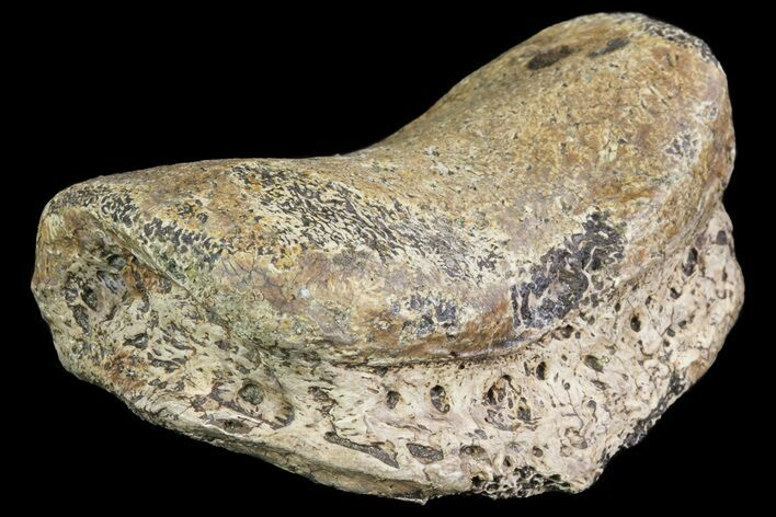 "3.2"" Ceratopsian Dinosaur Toe Bone - Alberta (Disposition #000028-29)"
