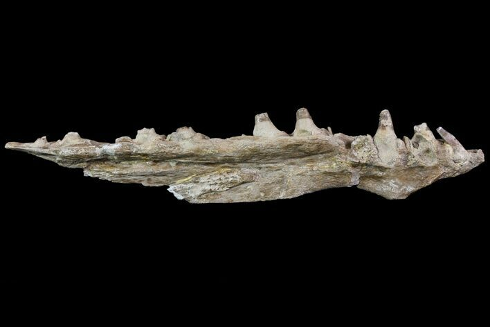 "10.7"" Mosasaur (Platecarpus) Jaw Section - Kansas"