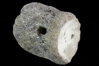 "2"" Mosasaur Vertebrae - North Sulfur River, Texas For Sale, #70271"