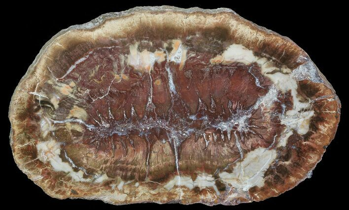 "5.3"" Colorful Petrified Wood (Araucaria) Slab - Madagascar"