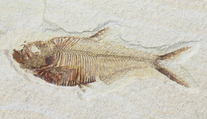 "4.1"" Diplomystus Fossil Fish - Wyoming"