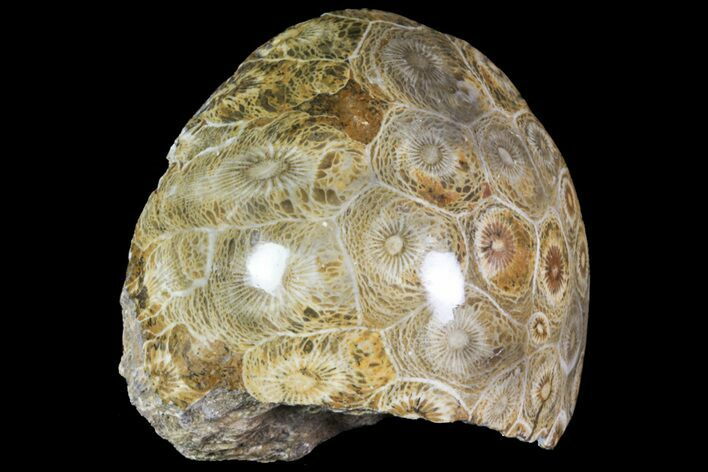 "2.6"" Polished Fossil Coral (Hexagonaria) - Morocco"