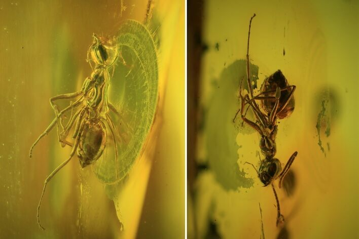 Fossil Ant (Formicidae) & Fly (Diptera) In Baltic Amber
