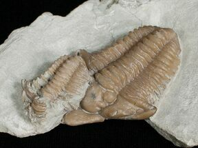 Super Rare, Snout Nosed Spathacalymene Trilobite For Sale, #5744