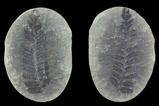 "2.7"" Pecopteris Fern Fossil (Pos/Neg) - Mazon Creek For Sale, #72365"