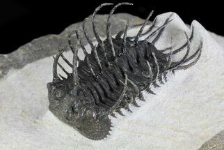 "1.8"" Spiny Koneprusia Trilobite - Large Specimen For Sale, #72713"