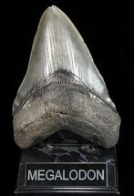 "Giant, 5.84"" Fossil Megalodon Tooth - Georgia For Sale, #72767"
