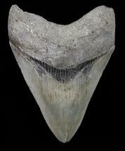 "Buy Serrated, 4.58"" Megalodon Tooth - Georgia - #72805"