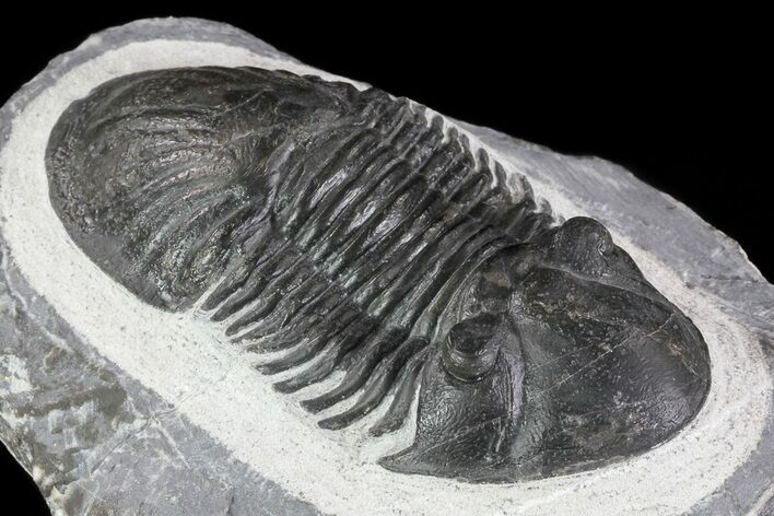 "3.3"" Paralejurus Trilobite - Huge Specimen"