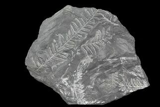 "Buy 8"" Wide Fossil Seed Fern Plate - Pennsylvania - #73333"