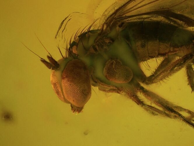 Detailed Fossil Fly (Diptera) In Baltic Amber - Excellent Specimen