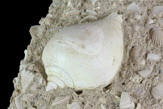 "Buy 1.1"" Eocene Aged Gastropod (Globularia) - Damery, France - #73804"