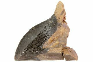 "Buy 1.3"" Unworn & Partially Rooted Triceratops Tooth - South Dakota - #73873"