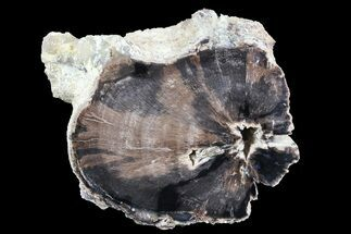 "Buy 6.5"" Petrified Wood Section - Wyoming - #73783"