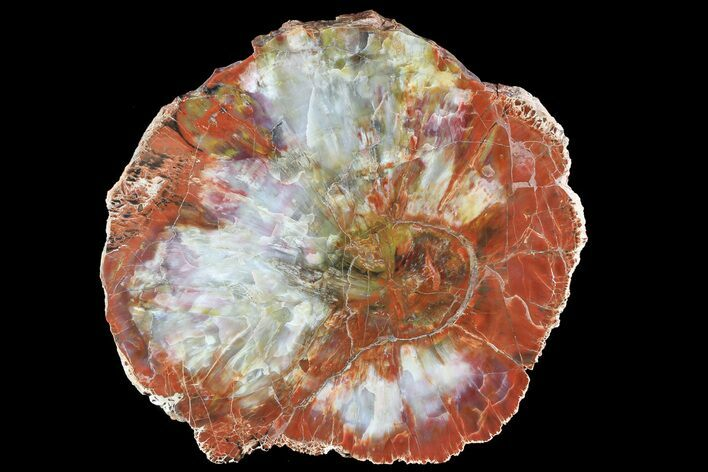 Brilliant, Thick Arizona Petrified Wood Slab - 12.6""