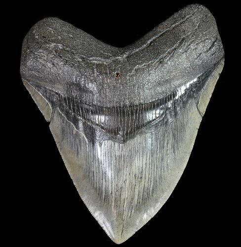 "Serrated, 4.80"" Fossil Megalodon Tooth - South Carolina"