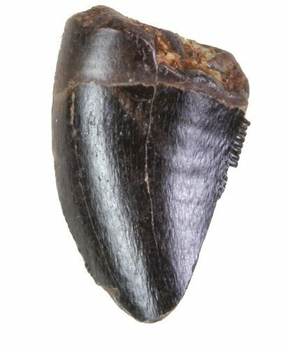 ".29"" Small Theropod (Raptor) Tooth - Judith River Formation"