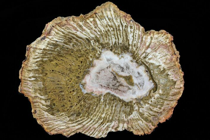 "4.8"" Petrified Horsetail (Calamites) From Madagascar - Very Rare!"