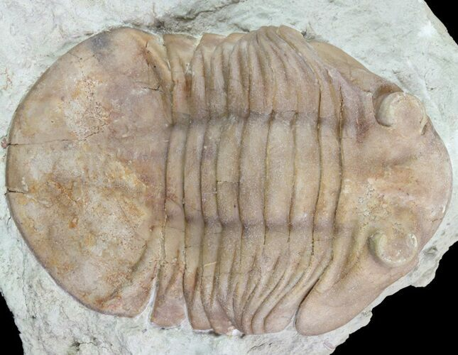 "2.4"" Asaphus (New Species) Trilobite - Russia"