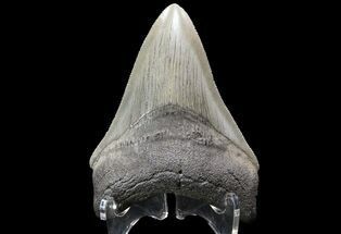"Buy Serrated, 3.83"" Fossil Megalodon Tooth - Georgia - #74491"