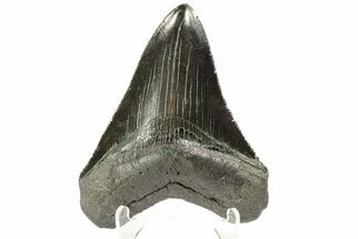 "Buy Serrated, 3.68"" Fossil Megalodon Tooth - Georgia - #74593"