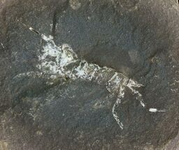 "1.1"" Pennsylvanian Fossil Shrimp (Pos/Neg) - Mazon Creek For Sale, #70625"