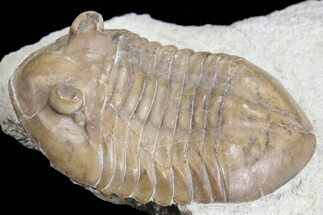 "Baby, 1.3"" Asaphus Intermedius Trilobite - Russia For Sale, #74675"