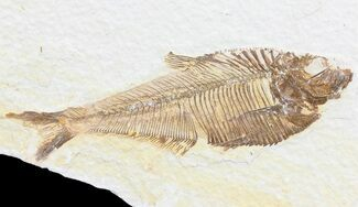 "4"" Diplomystus Fossil Fish - Wyoming For Sale, #74576"