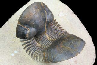 "2.2"" Paralejurus Trilobite Fossil - Foum Zguid, Morocco For Sale, #74876"