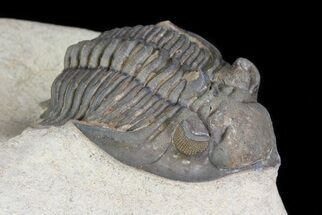 "Buy 1.7"" Metacanthina Trilobite With Great Eyes - Lghaft, Morocco - #75481"