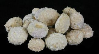 Buy Bulk Small Sea Urchin (Echinoderm) Fossils - 25 Pack - #75748