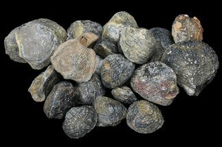 Bulk Fossil Brachiopod - 25 Pack For Sale, #75764
