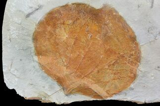 "2.4"" Detailed Fossil Leaf (Zizyphoides) - Montana For Sale, #75491"