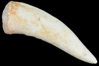 "2"" Enchodus Fang - Extinct Bony Fish For Sale, #76049"