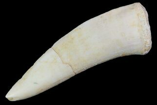 "2"" Enchodus Fang - Extinct Bony Fish For Sale, #76064"