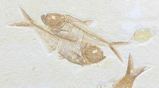 "2.9"" Double Diplomystus Fossil Fish - Wyoming For Sale, #75989"