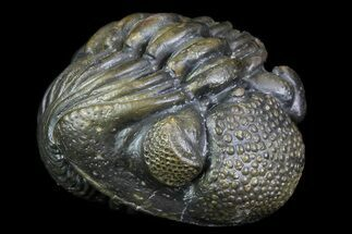 "4"" Long Enrolled Pedinopariops Trilobite - Incredible Preservation For Sale, #76208"