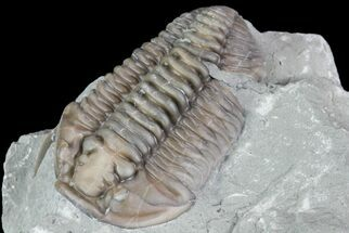 "1.30"", Prone Flexicalymene Trilobite - Ohio For Sale, #76361"