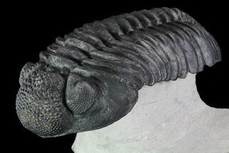 "5.2"" Drotops Trilobite - Excellent Faceted Eyes For Sale, #76406"