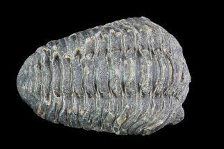 Acastoides - Fossils For Sale - #76416